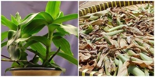 Cách dùng cây lược vàng chữa bệnh dạ dày