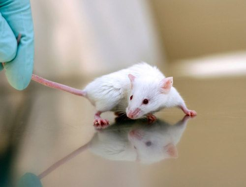 chuột bạch