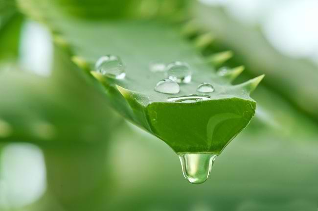 Mẹo chữa đau dạ dày từ cây nha đam hiệu quả