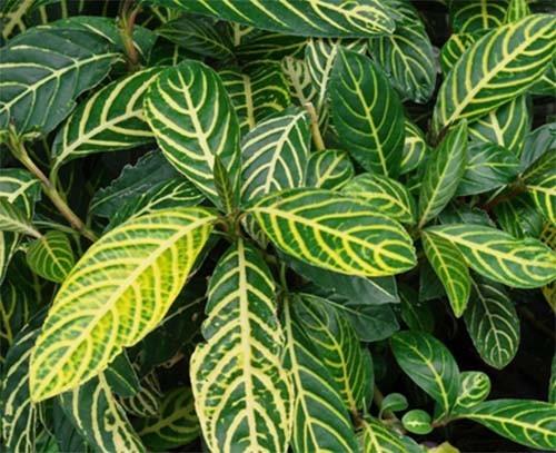 Cây xăng sê được nhiều gia đình trồng làm cây cảnh có tác dụng chữa đau dạ dày